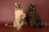 Бурманская кошка(Бурмезская, Бурма, Бурмуар)- одно из немногих животных, простое созерцание которого способно...