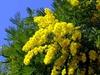 увидеть цветущие деревья мимозы