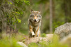 Wolves, Bears, Moose & Beavers, a forest conservation tour in Sweden