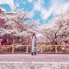 Япония в период цветения сакуры
