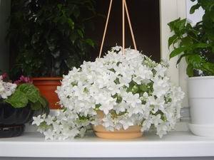 Комнатные цветы невеста фото