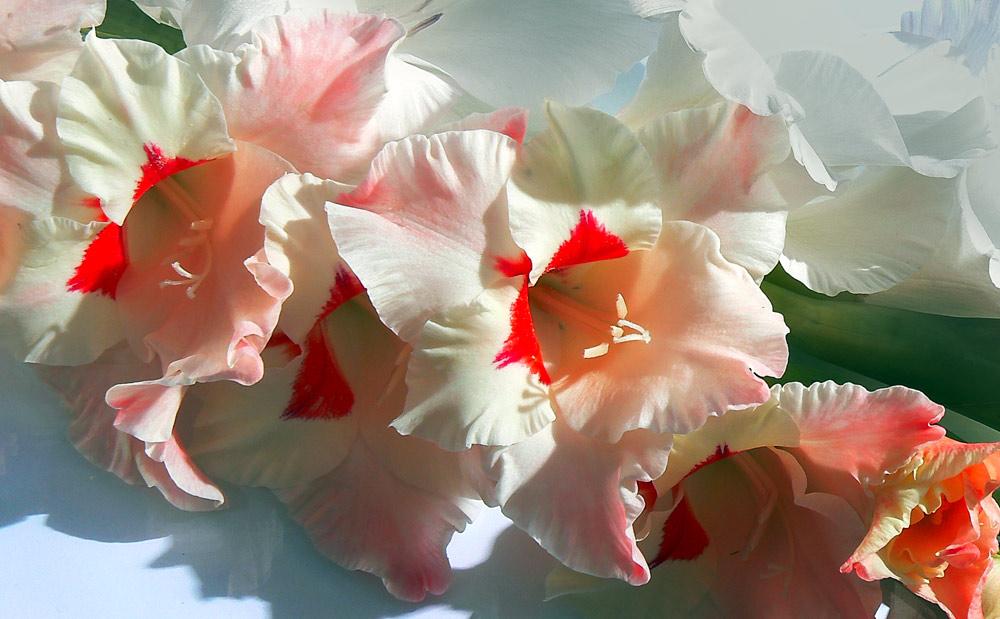 Открытки с цветами гладиолусами 515