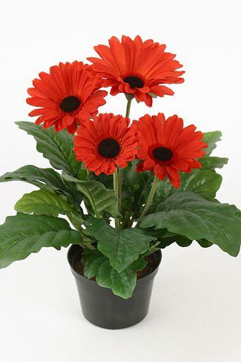 Гербера комнатный цветок