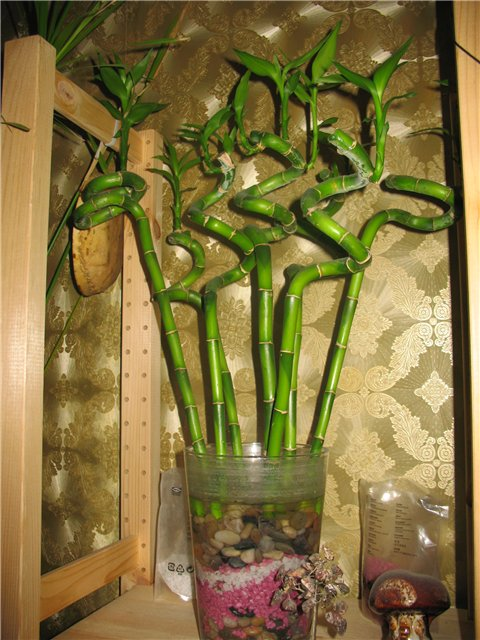 Можно ли в домашних условиях вырастить бамбук - NikeCRM