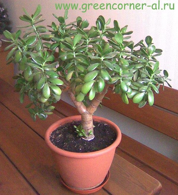 Денежное растение уход в домашних условиях 72