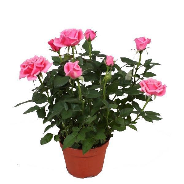 Роза секреты ухода