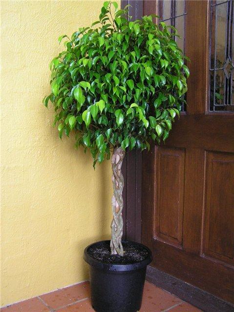 Как из фикуса сделать дерево 462