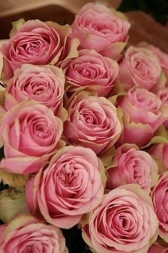 Розовые розы сорта фото