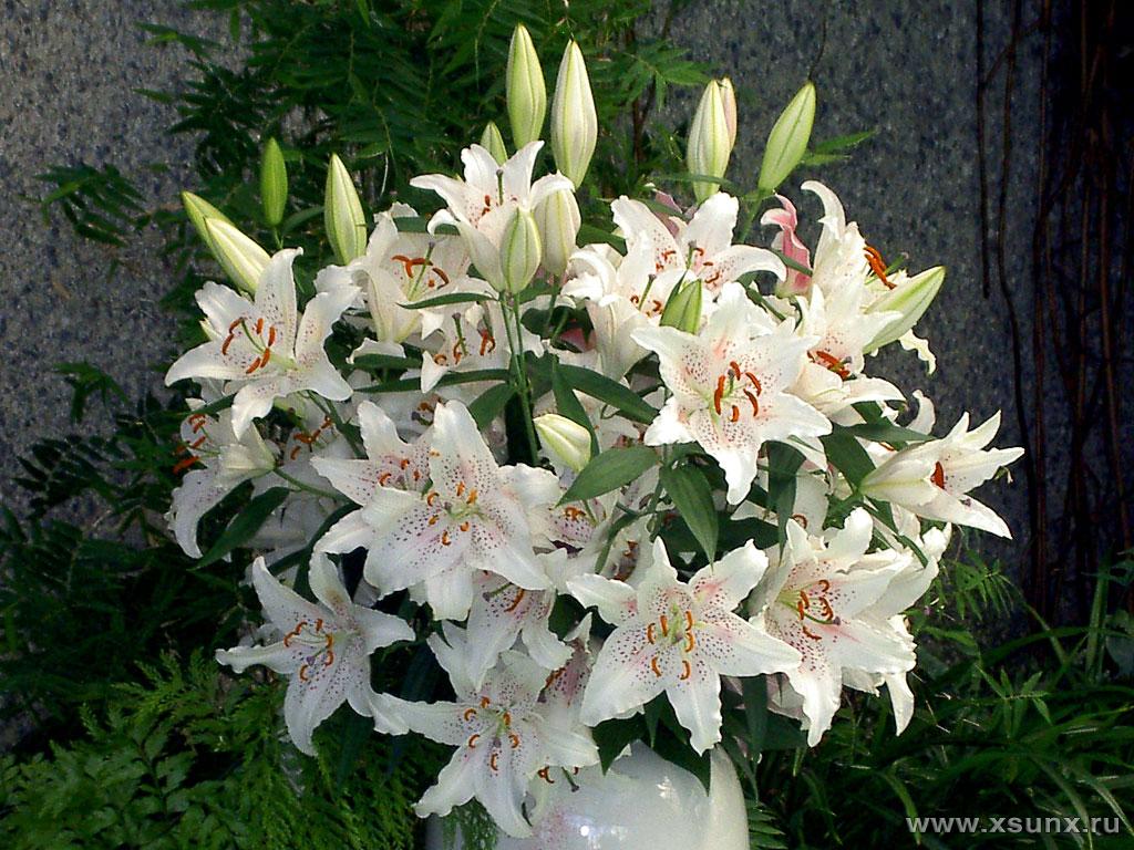 красивые цветы картинки лилии