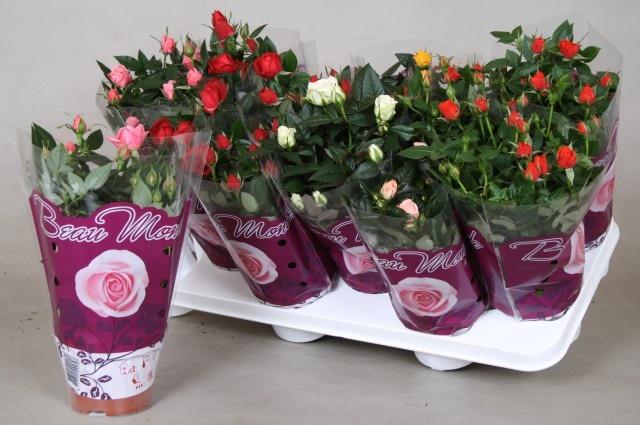 Как в домашних условиях ухаживать за розой в горшке