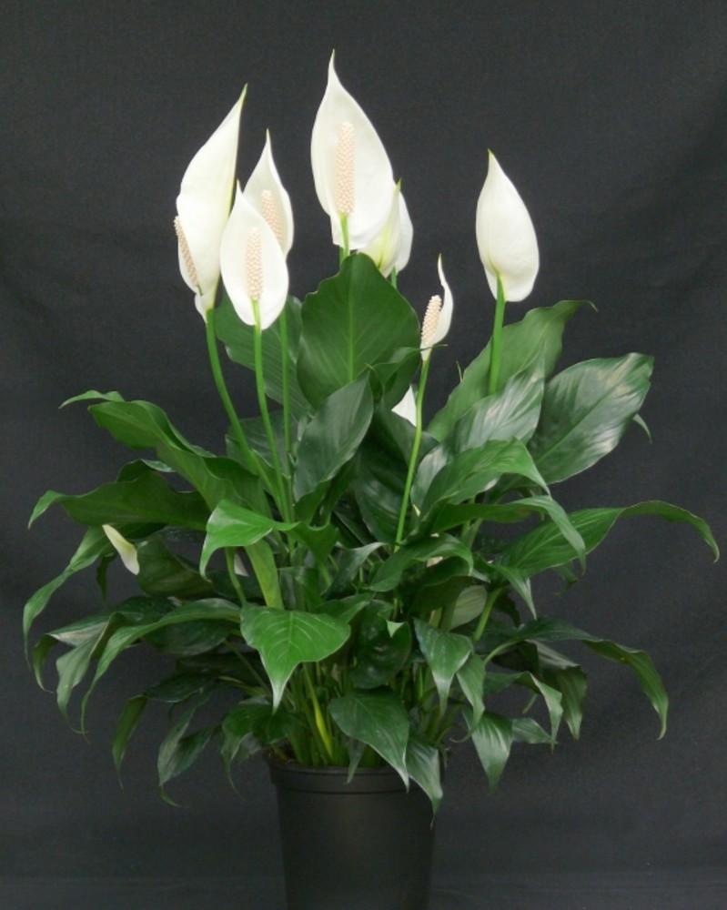 Спатифиллум цветок женское счастье уход в домашних условиях фото