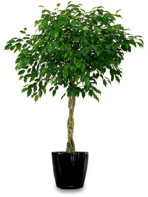 Большие деревья в домашних условиях 453
