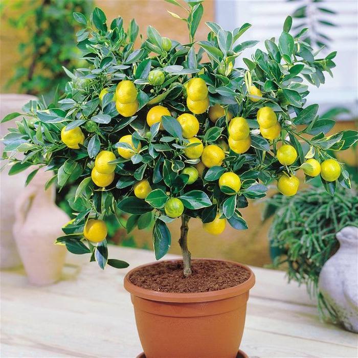 Домашний лимон уход в домашних условиях фото 892